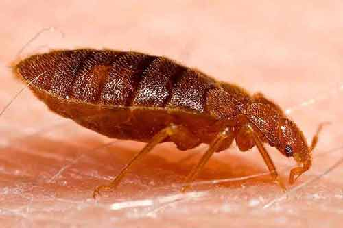 http-::commons.wikimedia.org:wiki:File-Adult_bed_bug,_Cimex_lectularius
